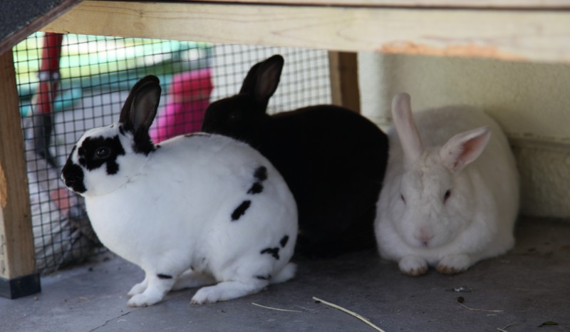 However, Jack, the white and black rabbit, turned out to be a male and got ...